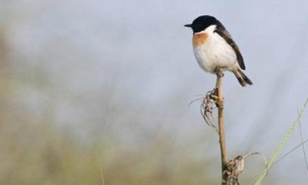 Koshi Tappu Bird Watching